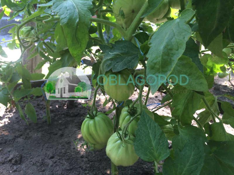 Взглянув на помидор невооруженным глазом, можно определить, что он растет как цветок из другого растения.