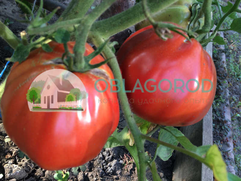 С бытовой точки зрения помидор можно отнести к овощам, так как при приготовлении используют соления