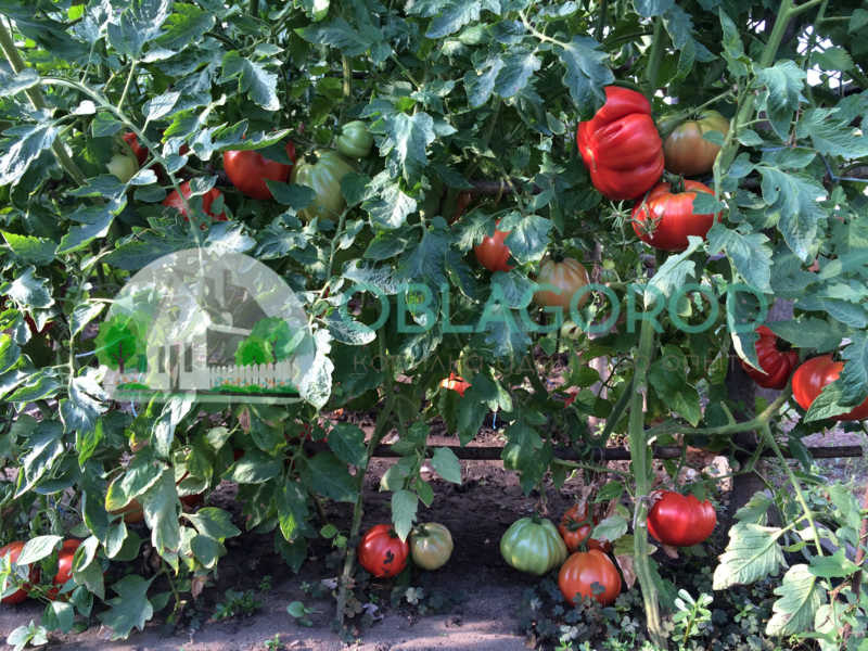 А внешне довольно убедительны черты, указывающие на то, что помидор больше фрукт, чем овощ.