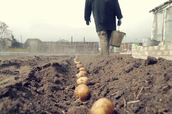 Сажать картофель можно не раньше чем через 30 суток после прекращения заморозков.