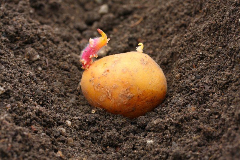 Грядка должна просохнуть, слишком влажная не подходит для картофеля