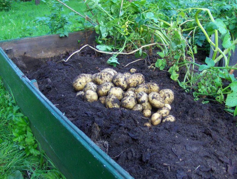 Как вырастить рассаду картошки