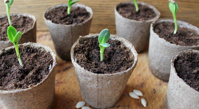 Семена высаживают в небольшие баночки из-под сметаны или йогурта высотой не более 10-12 сантиметров.