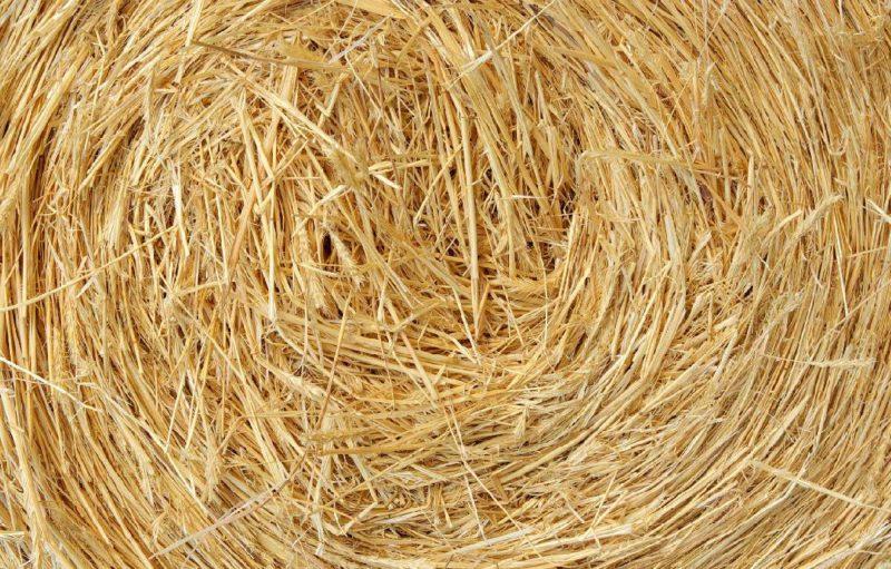 Опаливание соломой злаковых культур