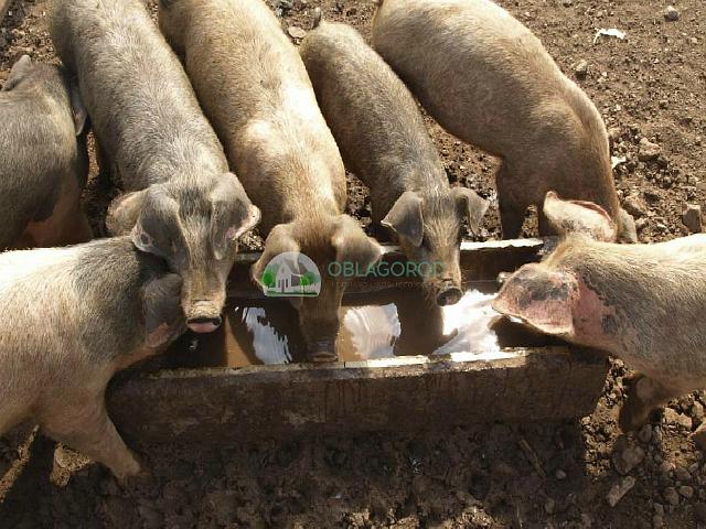 Условия для содержания свиней