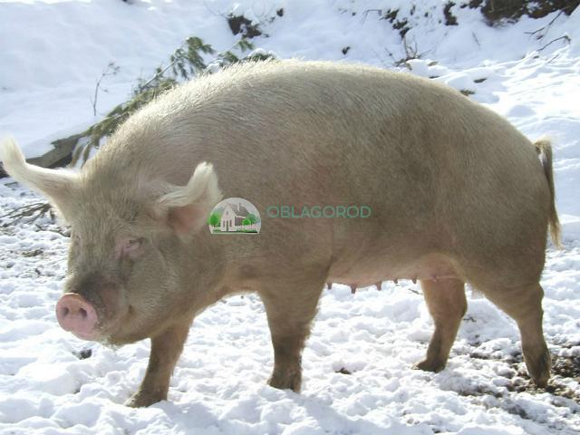 razvedenie sviney