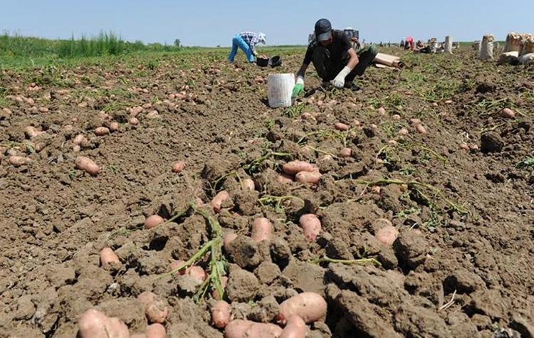 Влияние жизненного цикла картофеля на сроки его уборки