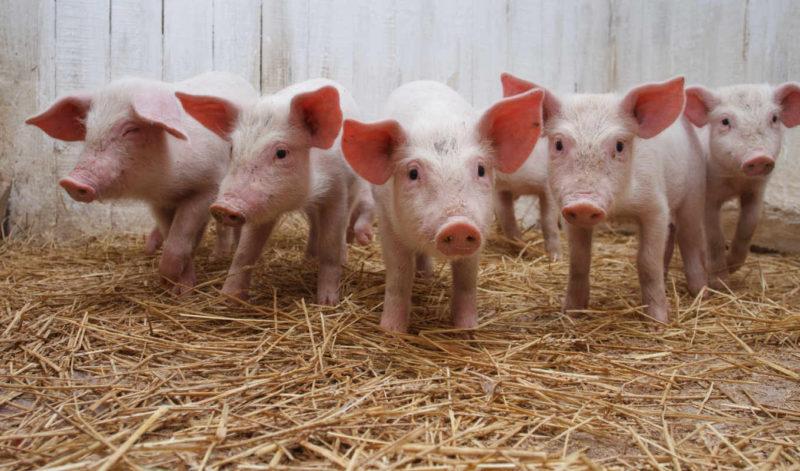 Почему следить за здоровьем свиней очень важно