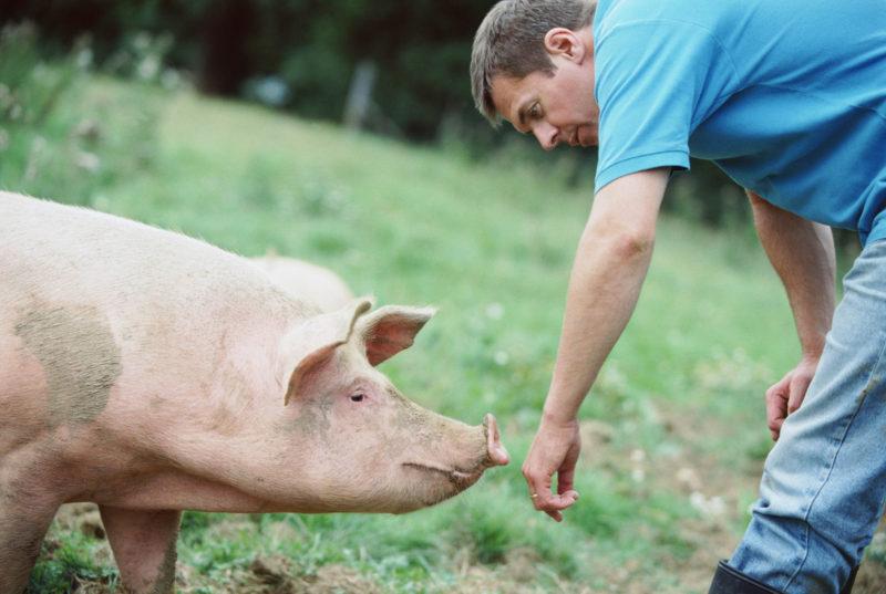 Почему следить за здоровьем свиней очень важно фото