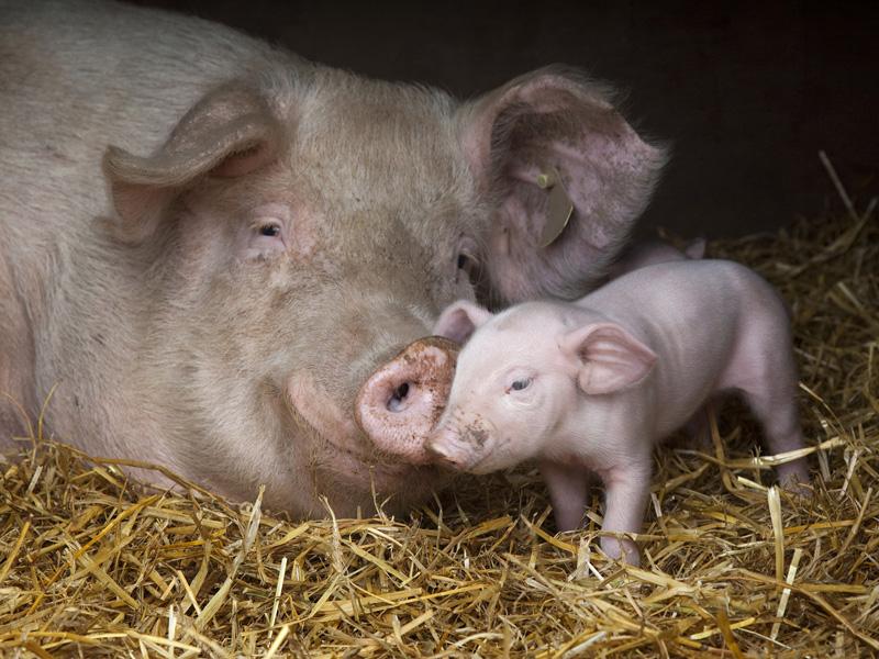 Цирковирусная инфекция свиней