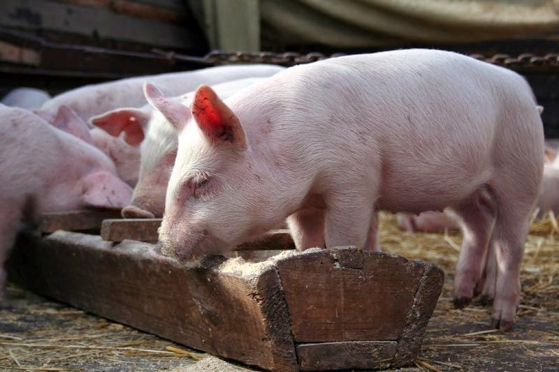 Полная потеря аппетита у свиньи
