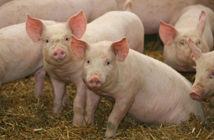 Резкое повышение температуры тела у свиньи