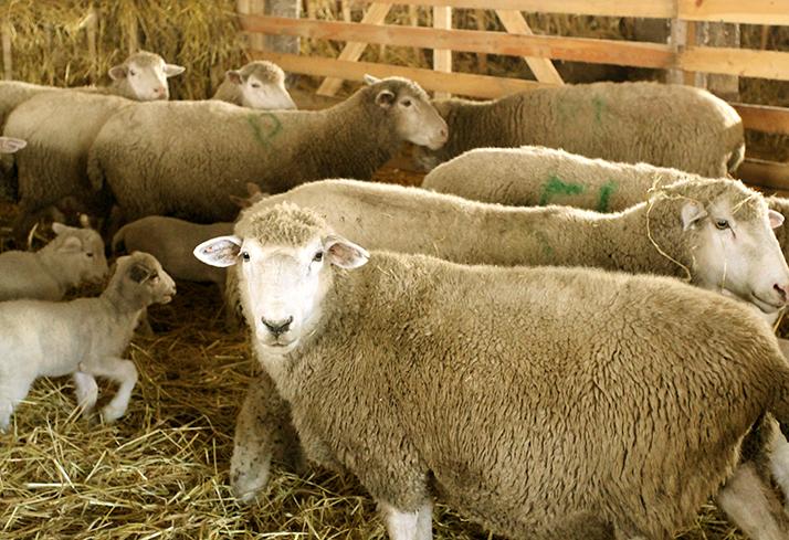 Полутонкорунные породы овец