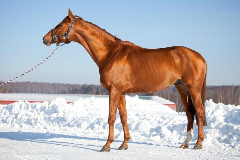 Лошади чрезвычайно легки в движении и ритмичны в аллюрах