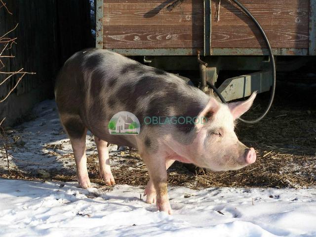 Требования к содержанию свиней в домашних условиях