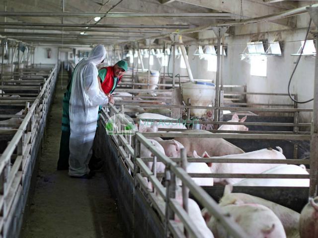 Кормление свиного поголовья