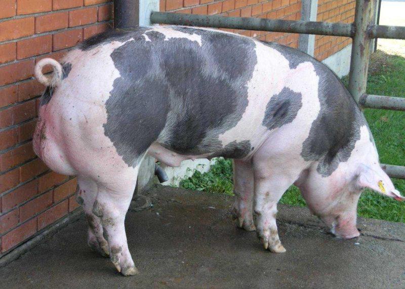 Мясосальные свиньи