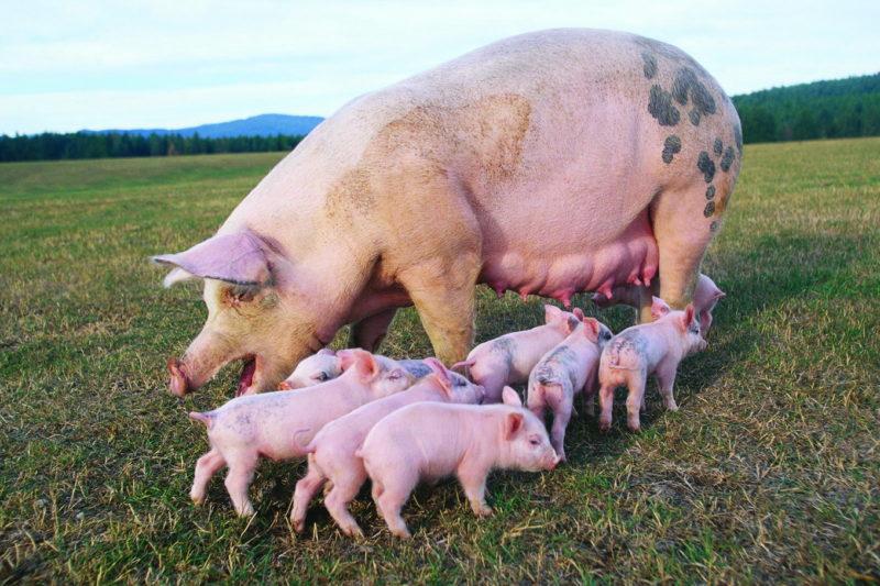 Мясные свиньи