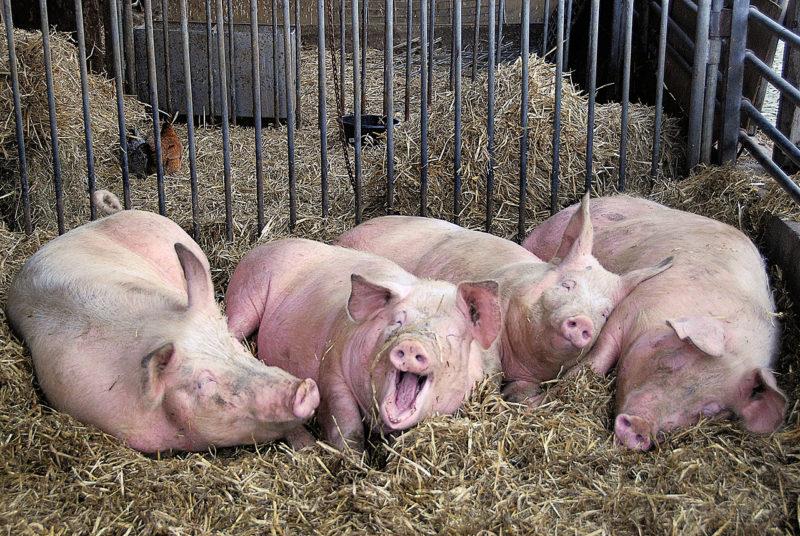 Беконные свиньи