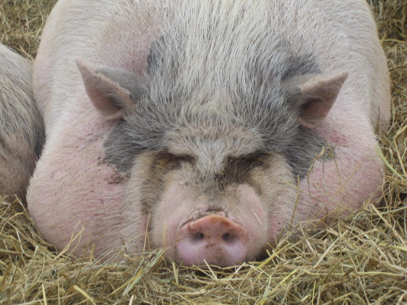 Сальные свиньи