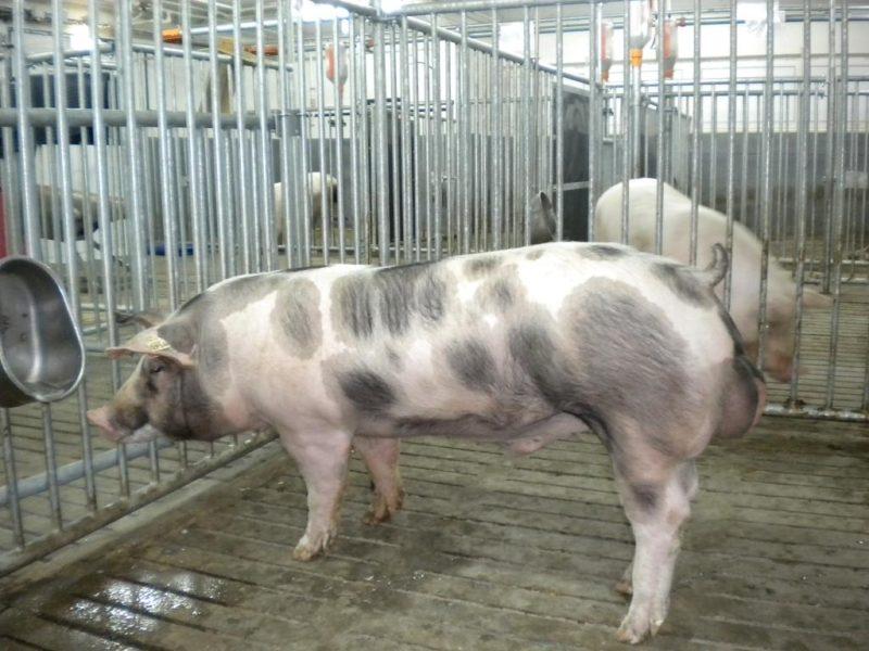 Породы свиней мясного направления фото