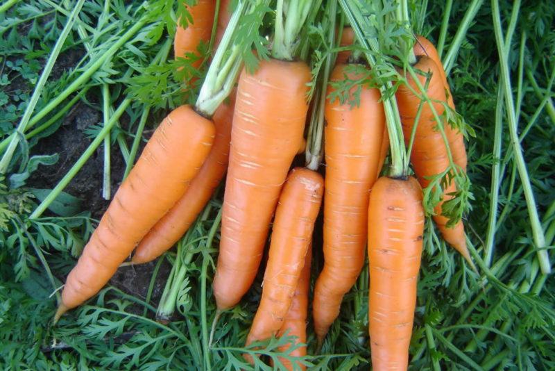 Осенняя посадка моркови позволит собрать урожай раньше обычного времени