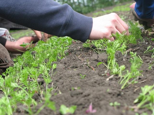 Сам процесс посадки моркови осенью или весной мало чем отличается.