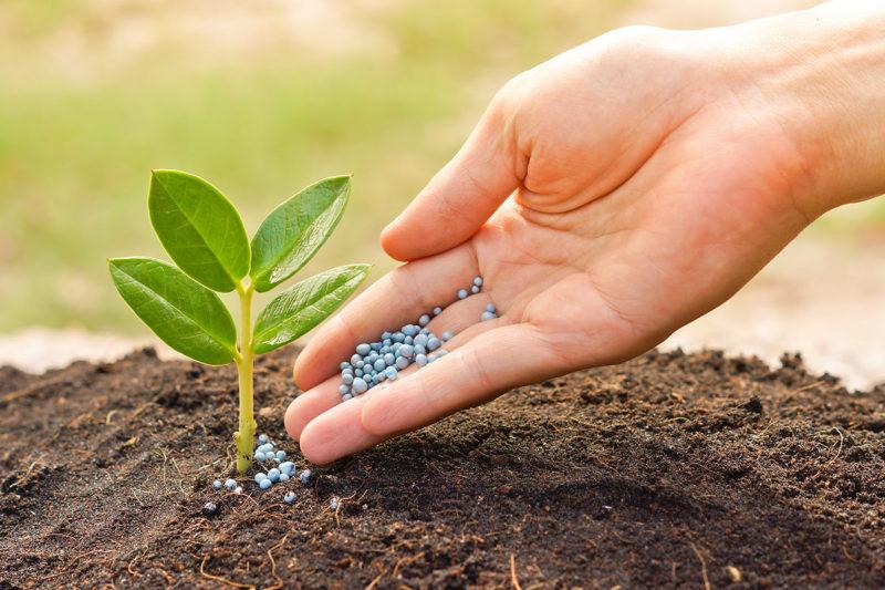 Позаботьтесь о внесении удобрений и перегноя, а в кислую почву, добавьте древесной золы.