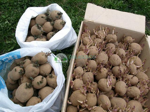 Как сажать картофель клубнями