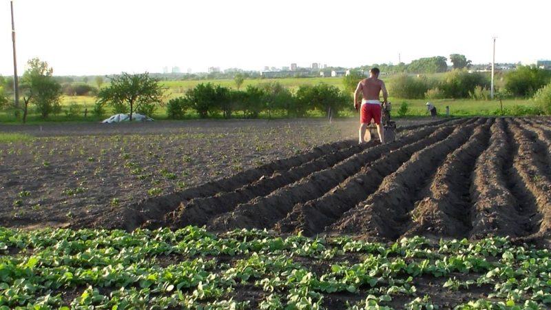 Рыхление почвы под картофель– технология и возможные способы. фото