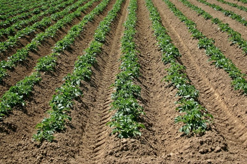 Рыхление почвы под картофель– технология и возможные способы.