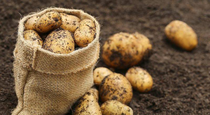 Подготовка почвы под картофель фото