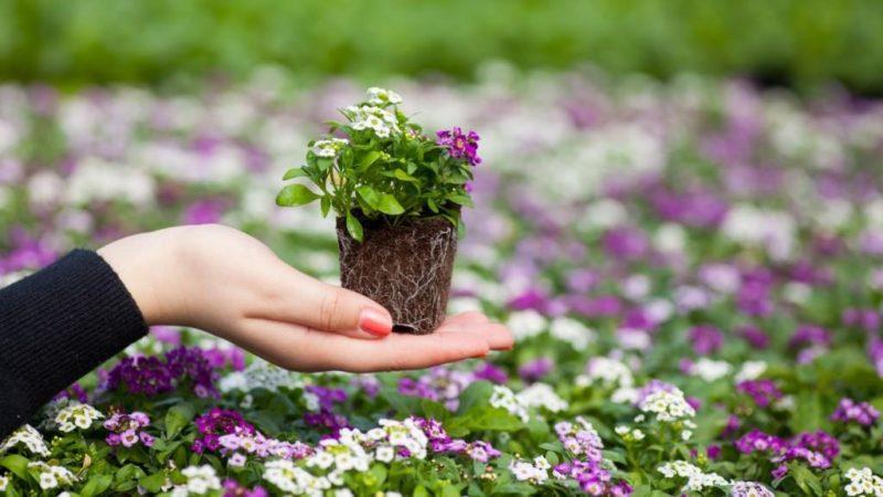 Особенность цветка – способность к регенерации собственной корневой системы