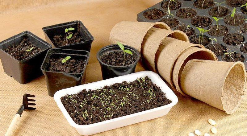 Семенной материал можно сеять прямо в открытый грунт