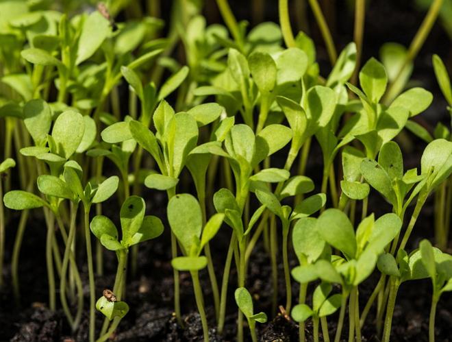 Выращивание рассадным способом