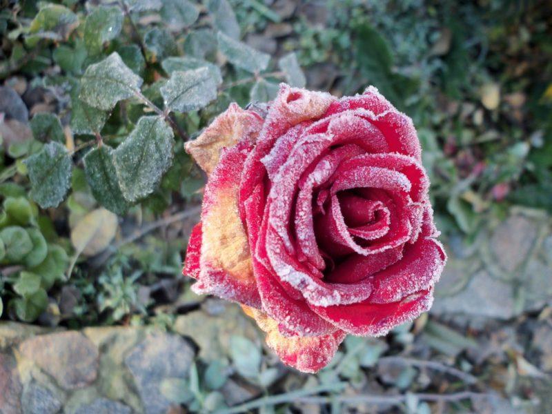 Применение специальных фунгицидов или биопрепаратов, по типу Топсина или Беномила, актуально, если недуг поразил большую часть вегетативной системы растения