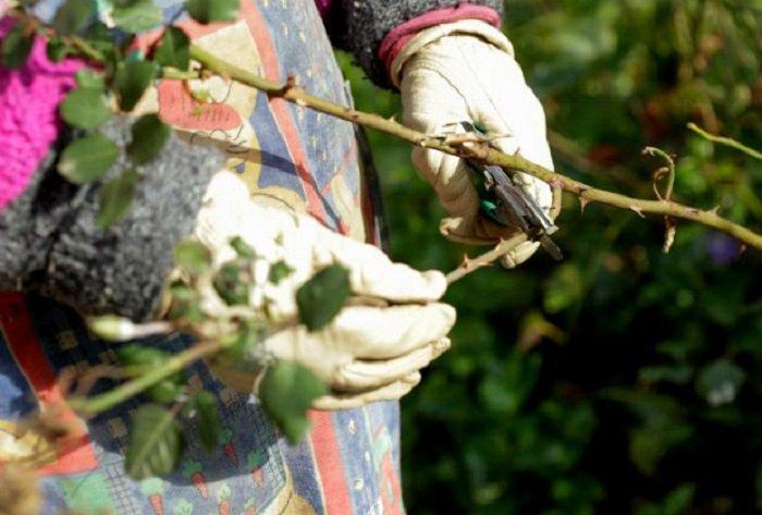 Производится механическое удаление зараженных листьев