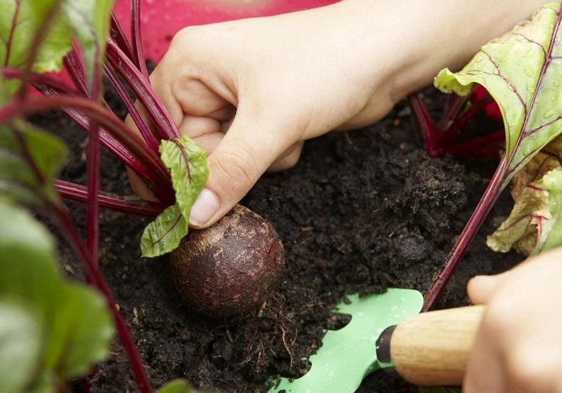 Как правильно собирать корнеплоды?