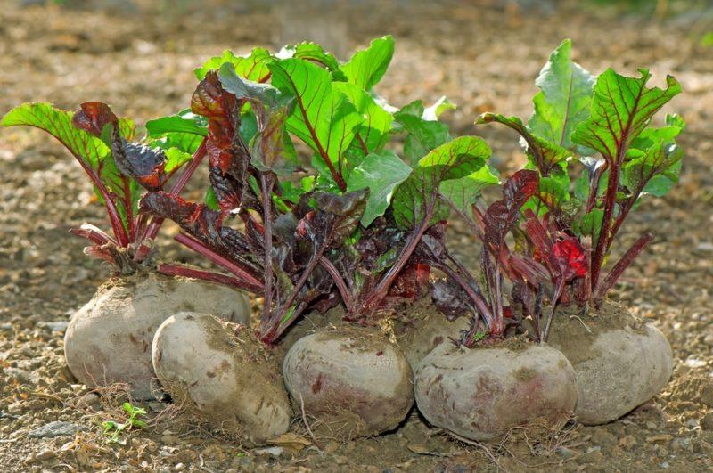 Перед отправкой собранного урожая в специально подготовленное место, его нужно качественным образом просушить.
