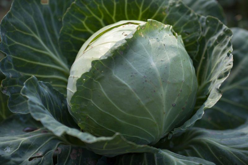 Позднеспелые сорта капусты для заквашивания и долгого хранения