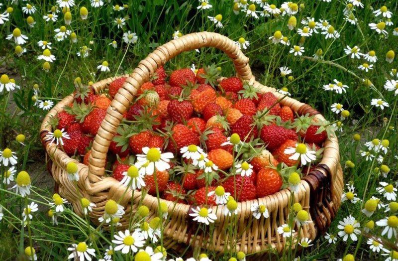 Лечебные свойства ягоды фото