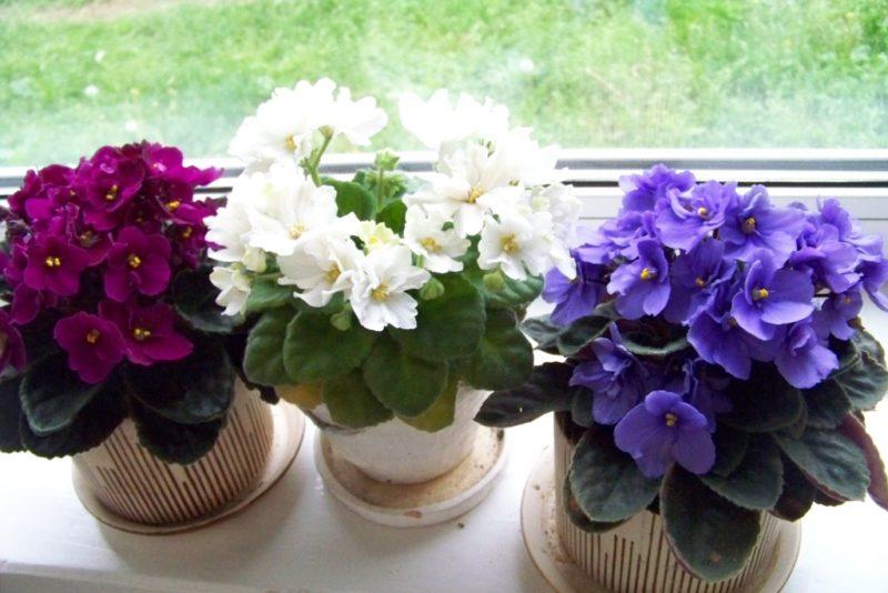 В обязательном порядке следует поливать цветок максимально равномерно