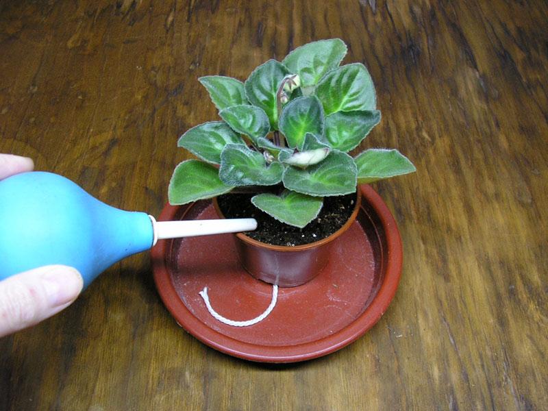 Направлять поток воды нужно только под листья, желательно поближе к грунту