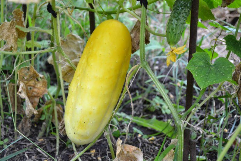 Желтый огурец – что происходит с плодом?