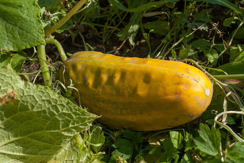 Желтые овощи серьезным образом изменяют свои вкусовые качества, становятся более водянистыми, горькими и нередко могут даже загнивать изнутри.