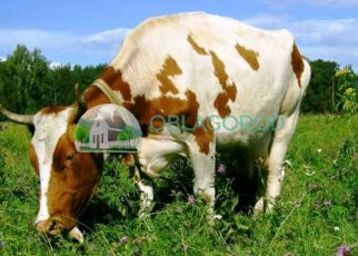 Корова на пастбище.