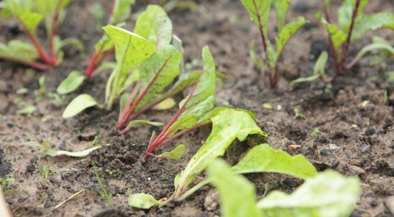Выращивание рассады фото