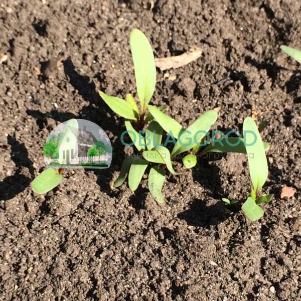После появления первых ростков делают прореживание растений