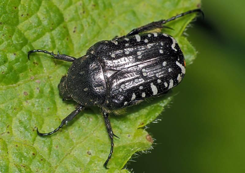 Крупных жуков можно собирать руками