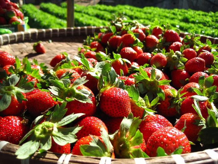Причины популярности клубники как садовой культуры